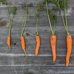 Could Carrots Change Construction?